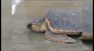 La playa de los Náufragos, escenario para una posible puesta de huevos de tortuga marina