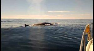 Tres rorcuales comunes recorren la costa de Torrevieja