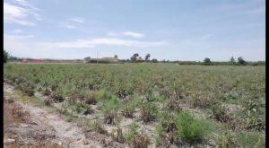 Los agricultores esperan que la lluvia salve la cosecha de hortalizas de invierno y los cítricos