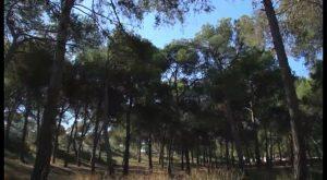 La «fisiopatía del pino carrasco» llega a la Vega Baja
