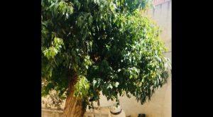 Localizado un enjambre de abejas en un árbol del CEIP José María Paternina (Daya Nueva)