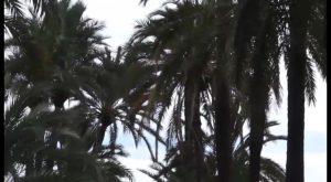 Medio Ambiente inicia el tratamiento de las palmeras del Palmeral de San Antón contra el picudo rojo