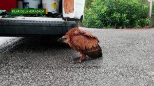 Medio Ambiente recupera un buitre leonado junto a una carretera de Sierra Escalona
