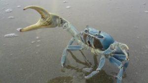 Guardamar insta a la CHS para que autorice la pesca selectiva del cangrejo azul