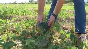 La huerta de Dolores pone en valor las variedades de melón tradicional