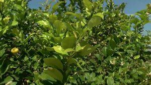 Pilar de la Horadada entrega 7220 trampas para la mosca de la fruta
