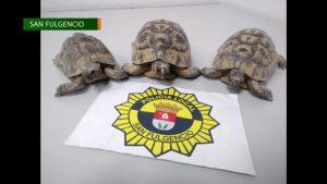 La Policía Local de San Fulgencio incauta tres ejemplares de tortugas morunas adultas