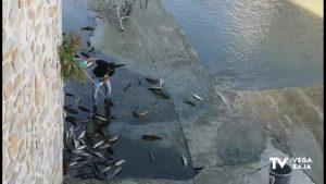 Una veintena de peces muertos y más de treinta recuperados en el río Segura a su paso por Orihuela