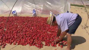 La ñora de Guardamar tiñe de rojo las dunas en plena temporada