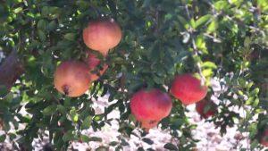 Los productores de la comarca conocerán a fondo las características de la Granada Mollar de Elche