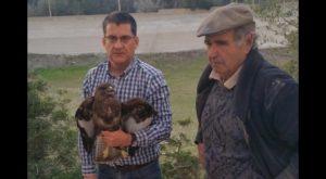 Rescatada en Torrevieja un Busardo Ratonero, rapaz diurna