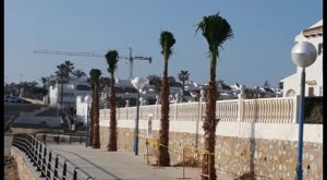 El Ayuntamiento replanta trece palmeras en el paseo marítimo de La Zenia y Cala Capitán
