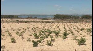 Torrevieja presentará un proyecto relacionado con los viñedos de La Mata al Plan de competitividad
