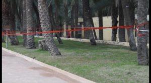 El Ayuntamiento ordena la tala de dos palmeras afectadas por picudo