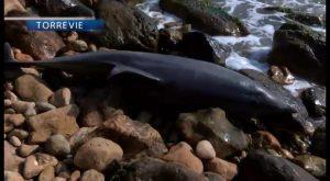 Aparece un delfín muerto en cala La Zorra