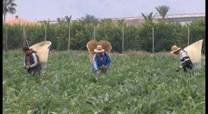 Dolores acogerá la fiesta fin de campaña de la alcachofa Vega Baja del 10 al 13 de mayo