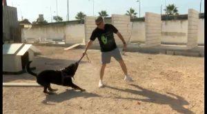Un rottweiler del Albergue de animales de Torrevieja protegerá a una víctima de violencia de género