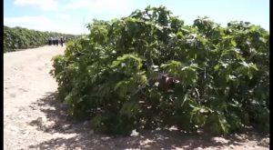 La sustracción de brevas pierde fuerza ante el incremento de patrullas rurales en Albatera