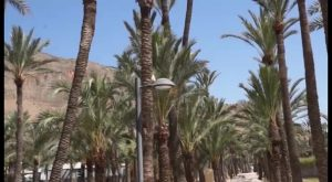 Cerca de 4.300 palmeras de Orihuela reciben un tratamiento de choque contra el picudo rojo
