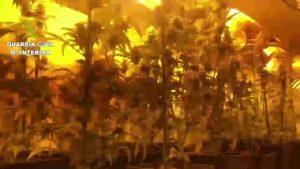 Cae una banda que ponía música clásica a las plantaciones de marihuana para estimular su crecimiento