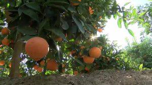Más de 300 agricultores se movilizarán en Madrid por la crisis de precios de los cítricos