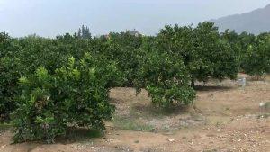 Las precipitaciones benefician a olivar, almendro, granada, cítricos y hortalizas
