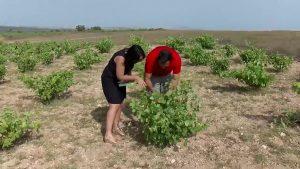 El parque natural posee un viñedo de la variedad Esclafacherre único en el mundo
