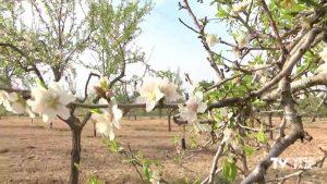 Almendros en flor en Torremendo