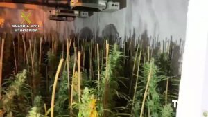 Detenido en Rafal por cultivar 400 plantas de marihuana junto a las dependencias de la Policía Local