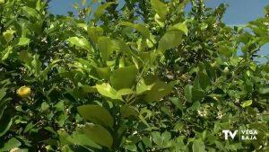 Los agricultores temen una posible oleada de robos de limones en la Vega Baja