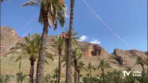 Sobrevive una palmera datilera monumental en El Palmeral de Orihuela