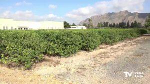 La Vega Baja ya cuenta con un limoncello ecológico y con sabor propio de la comarca