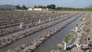 Comienza la plantación de alcachofas en la Vega Baja