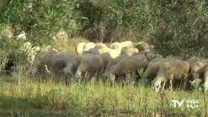 La Confederación Hidrográfica del Segura autoriza el pastoreo de ganado en el río Segura