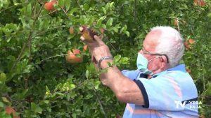Comienza la cosecha de granada mollar en el campo de Albatera