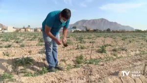 El calor y la falta de lluvia pone en peligro la campaña de la alcachofa