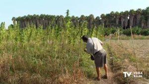 Callosa de Segura apuesta por la recuperación de la variedad tradicional autóctona del cáñamo