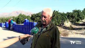 Comienza la recolección de las naranjas más tempranas de la temporada en la Vega Baja