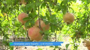 Granadas gratis para quienes viven fuera de la Comunidad Valenciana