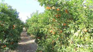 Los cítricos salvan el año de la agricultura alicantina