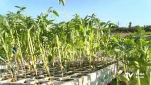 La huerta de Callosa ya cuenta con la primera plantación de cáñamo industrial a nivel nacional