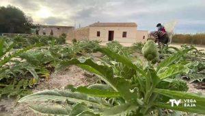 Almoradí ofrecerá alcachofas en fresco a las personas más necesitadas