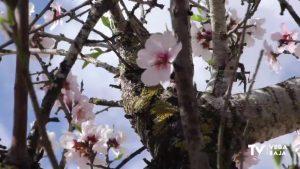 Los almendros en flor llenan de color el paisaje de la Vega Baja