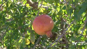 La granada mollar que se cultiva en la Vega Baja puede tener el sello de calidad