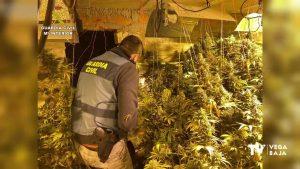 Más de 150 plantas de marihuana en el sótano de una chalet de Ciudad Quesada