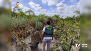 Detenido un vecino de Rafal por el presunto robo de 70 plantas de Yucca en una finca de Callosa