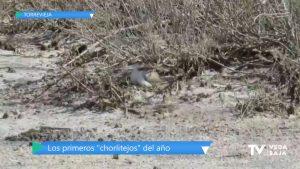 Nacen los primeros polluelos de chorlitejo patinegro del año en el Parque Natural de La Mata