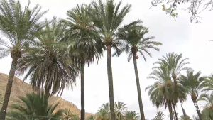 Orihuela protegerá la palmera datilera con una nueva ordenanza
