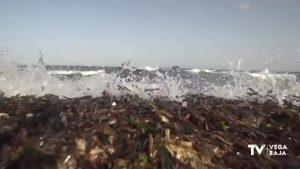 Comienza la recogida de restos de Posidonia en la costa oriolana