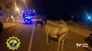 Dos burros campan a sus anchas por Albatera